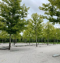 Trees in a gravel parking lot at Glenstone
